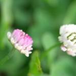 クリムソンクローバー(Crimson clover・ストロベリーキャンドル)って可愛い花だねぇ~