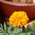 マリーゴールドの蕾に収納されている花びらがすごい