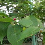 そういえば、「さくらんぼう」って桜の木になるんだっけ??