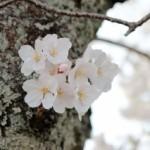 4月2日:京都嵐山の桜