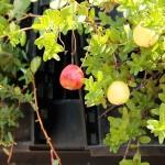小さいリンゴのような実、それはクランベリーの実でした