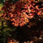 京都嵐山(11月16日)のもみじの様子
