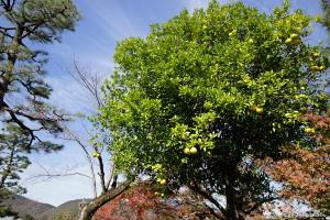 京都嵐山-果物