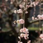 大阪城公園梅林