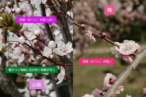 桜と梅違い