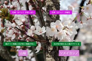 山桜とソメイヨシノの違い