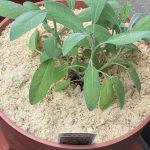 コガネムシの産卵防止(幼虫発生防止)のために、竹パウダーで土への侵入防止