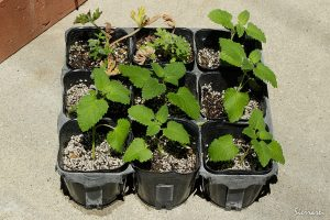 レモンバーム挿し芽から2週間経過