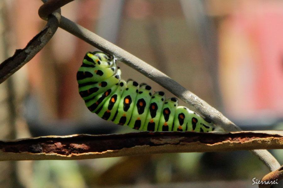 キアゲハの蛹化前