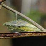 キアゲハの幼虫発見から15日。蛹の中に蝶の羽模様が見えてくる。羽化間近!
