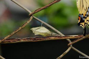 キアゲハの羽化後のさなぎの殻