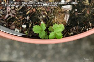 ワイルドストロベリー発芽