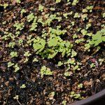 ワイルドストロベリーの発芽から約1ヶ月経過