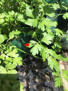 イタリアンパセリ-キアゲハの幼虫