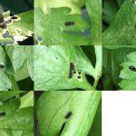 10月20日を過ぎ、キアゲハの幼虫がふ化してくる。何匹がサナギにまでなってくれるか