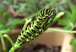 キアゲハ10月の幼虫