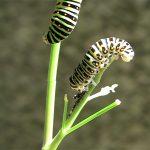 キアゲハの幼虫が脱皮した抜け殻を食べる様子