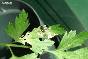 キアゲハ:10月の成長