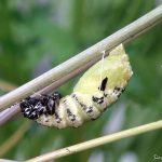 クリスマスの日、ついに今年最後のキアゲハの幼虫が蛹化