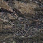 カワムツ(川鯥)が泳ぐ穏やかな芥川の支流にて|摂津峡(大阪北摂 高槻市)