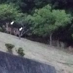 ランニングコースに3頭の鹿がでた。同じ場所を何百回と通っているけど初めて見た。