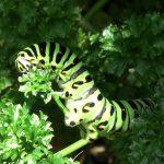 パラマウントパセリにキアゲハの幼虫がやってきた