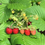 今年もワイルドストロベリーの収穫時期がやってきた!
